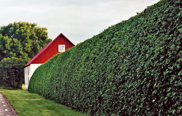 Живая изгородь на дачном участке