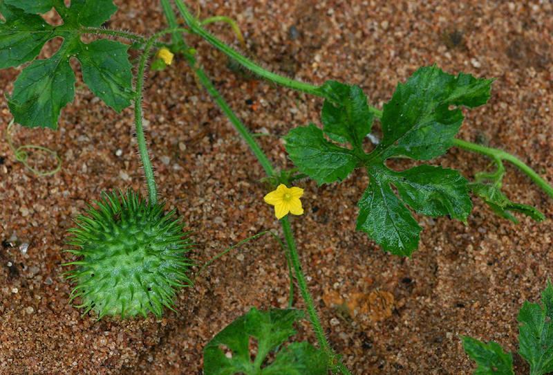 Побеги и цветы Ангурии