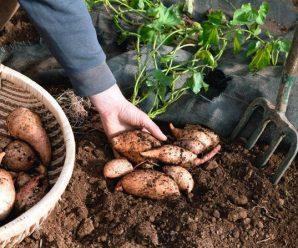 Батат (сладкий картофель) — выращивание