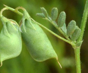 Чечевица — выращивание и полезные свойства
