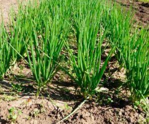 Лук шалот — выращивание и сбор семян