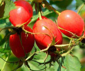 Шиповник или дикая роза – источник ваших витаминов