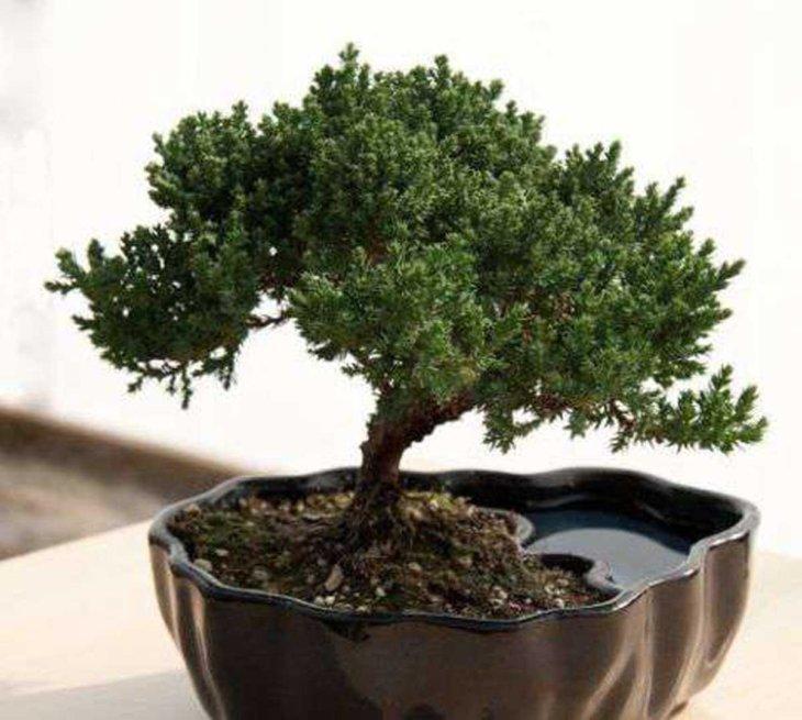 Бонсай – деревья в горшках