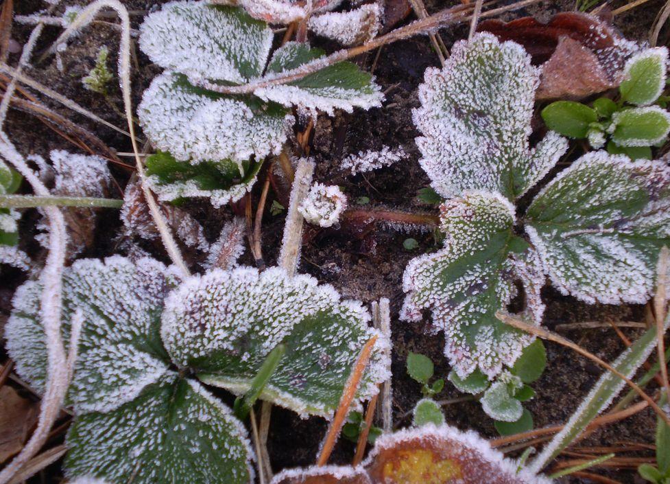 Бесснежная зима для земляники