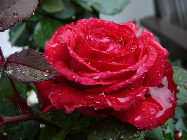 Чайная роза (роза эфирно-масличная)
