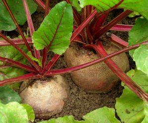 Как вырастить свеклу, как ее посеять, собрать и хранить
