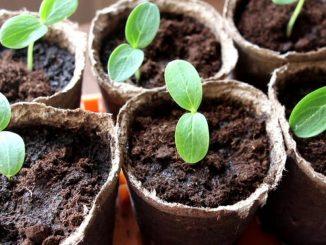 Тонкости выращивания рассады огурцов